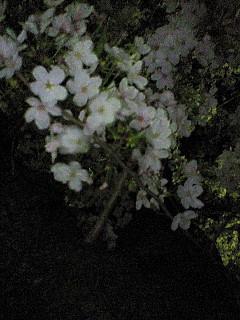 桜、お疲れ。
