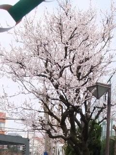 桜がwelcome